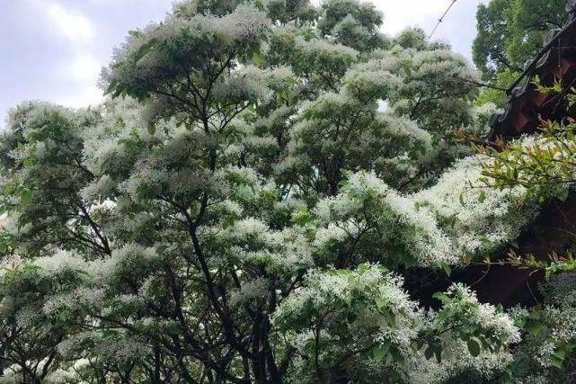 """五月""""飘雪"""" 青岛这棵百年古树开花…太美了"""